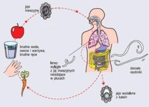 pasożyty schemat