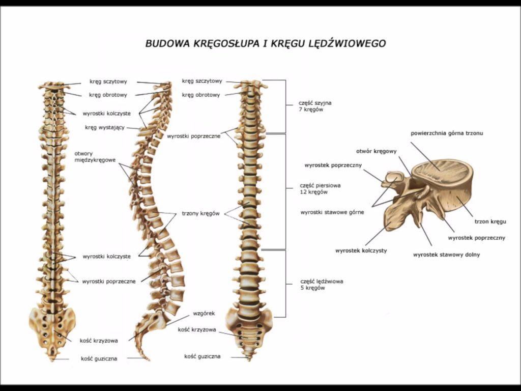 bóle kręgosłupa budowa