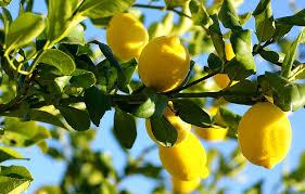 drzewo cytrynowe z owocami