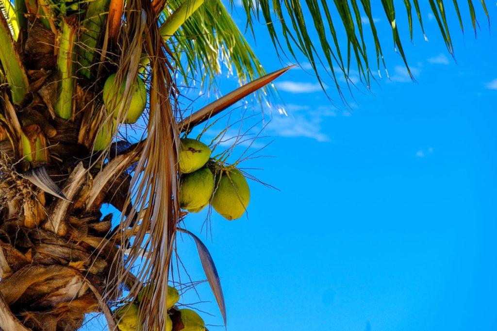 drzewo kokosowe