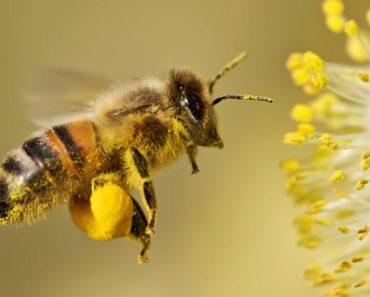 pierzga w obnóżach pszczoły