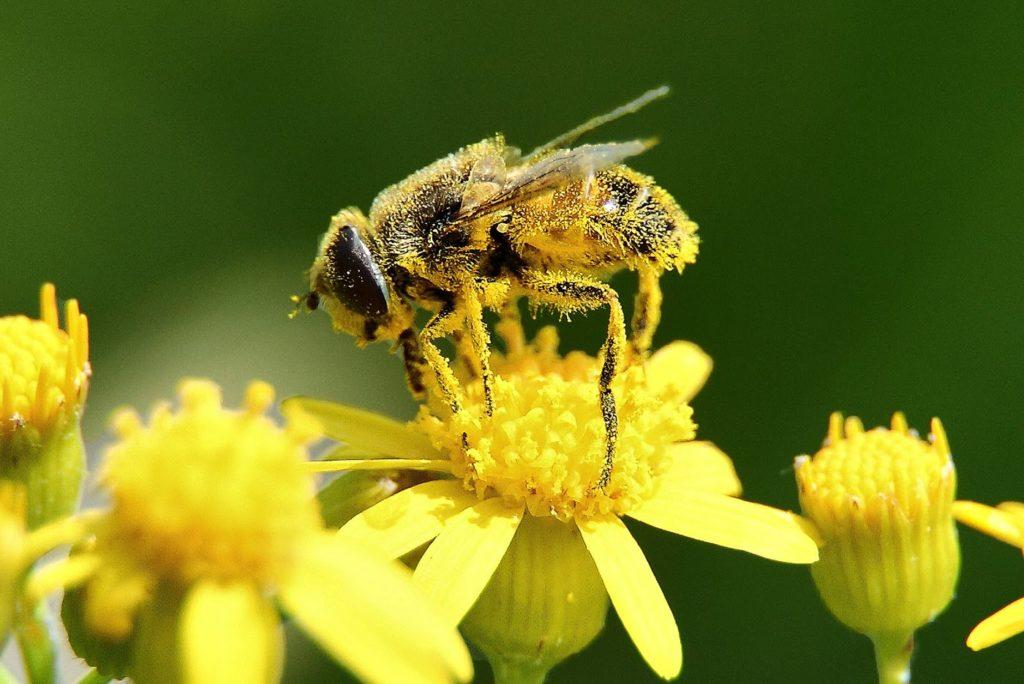 pierzga na obnóżach pszczoły