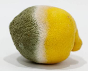 pleśń na cytrynie