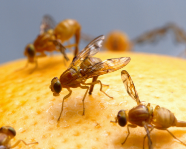 muszki owocówki na mandarynce